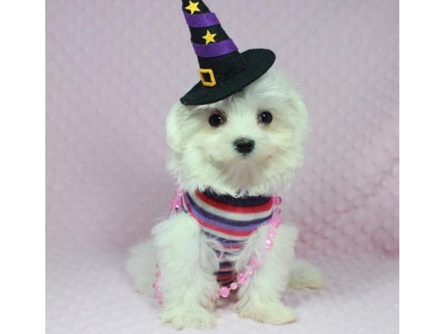 Teacup Maltese Puppies Available Animals Las Vegas Nevada