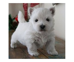 Nice and Healthy Westhigland Terrier Puppies Available