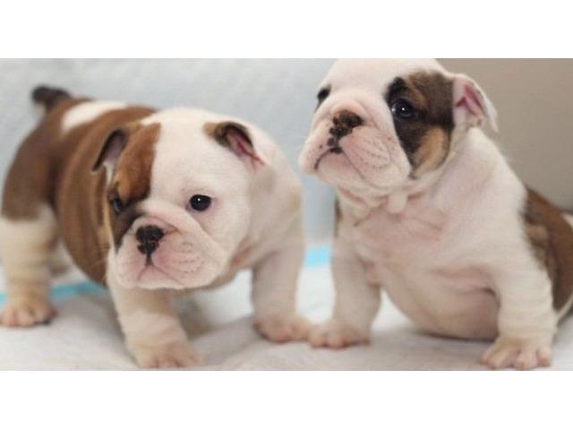 Beautiful Little English Bulldog Puppies Available Animals