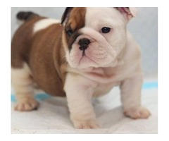 12 weeks Registered English Bulldog puppies for your home