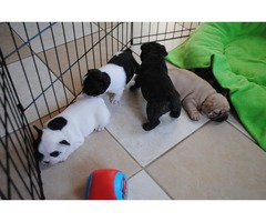 Free French Bulldog Puppies For Adoption