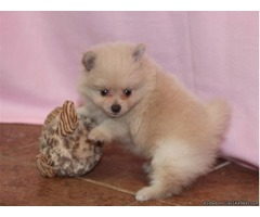 Tiny Little Pomeranians