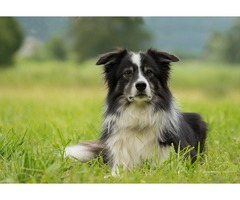 stirling collies In Clear water| Collies and puppies