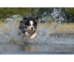Stirling Collies is the best place for collies training
