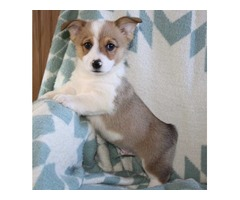 Pembroke Welsh Corgi Puppies Available..