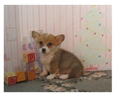Pure Pembroke Welsh Corgi Puppies For Re-homing..