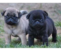 precious male and female Pug puppies