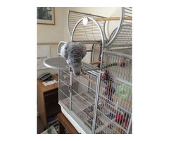 Timneh African Greys
