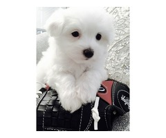 Purebred Two Male and Female Maltese puppies d