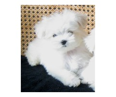 Purebred Two Male and Female Maltese puppies dsd