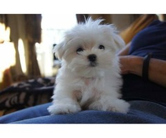 Two Male and Female Maltese puppies