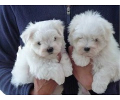 100% Purebred Two Male and Female Maltese puppies