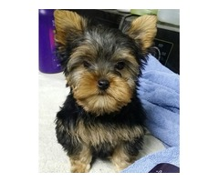 Beautiful Male and Female Teacup Yorkshire Terrier Puppies