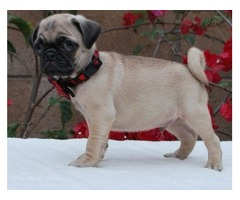 Kind and Sweet Male and Female Pug Puppies Available