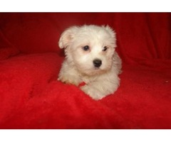 Home Trained Male and Female Maltese Puppies Seeking New homes