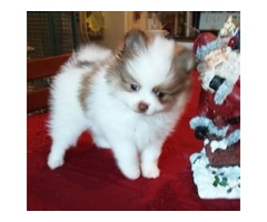 Jovial Male and Female Pomeranian Puppies Available