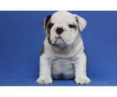 Beautiful Male English Bulldog Puppies Seeking New Homes