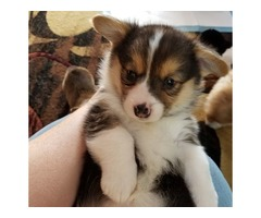 Healthy and Lovely Pembroke Welsh Corgi Puppies Available