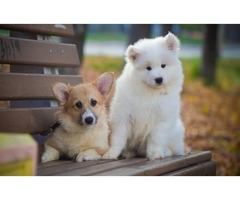 MALE AND FEMALE HARVANESE PUPPIES FOR SALE