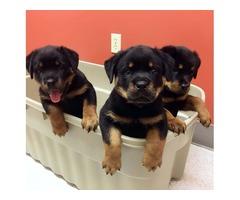 Akc registered rottweilerpuppies