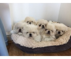 Pekingese pups ready