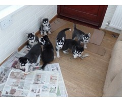 Gorgeous Siberian husky puppies
