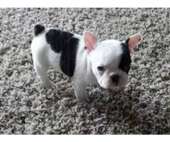 Healthy French Bulldog puppies