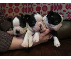Gorgeous Boston Terrier puppies for sale. They