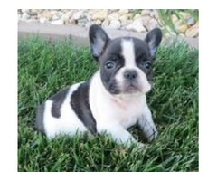 Well socialized French Bulldog puppies