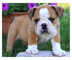 Adorable outstanding English Bulldog puppies