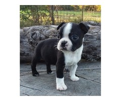 Purebreed M/F Boston Terrier puppies looking for new home