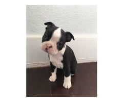 Purebreed M/F Boston Terrier puppies looking for new home ~~