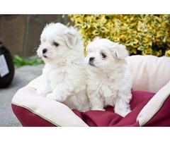 Male and Female Maltese puppies(100% Purebred).