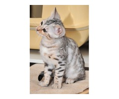 Spotted Male and Female Bengal Kittens in need of a home