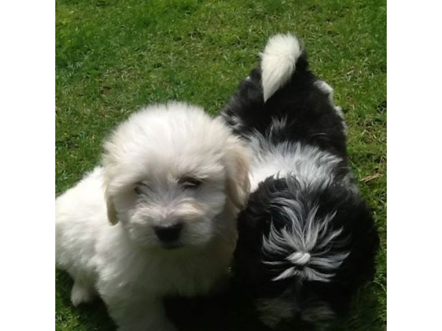 cute male and female coton de tulear puppies available animals
