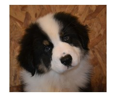 Female and male Australian Shepherd Puppies Ready