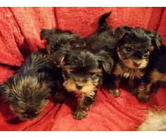 AKC adorable  Teacup Yorkie Puppies Available