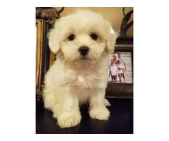 Gorgeous Purebreed Coton Puppies Available