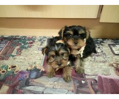 Beautiful AKC Teacup Yorkie Puppies Ready