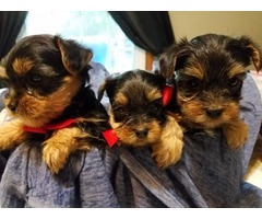 AKC Beautiful 4 Teacup Yorkie Puppies