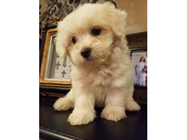 super adorable coton de tulear puppies here for sale animals