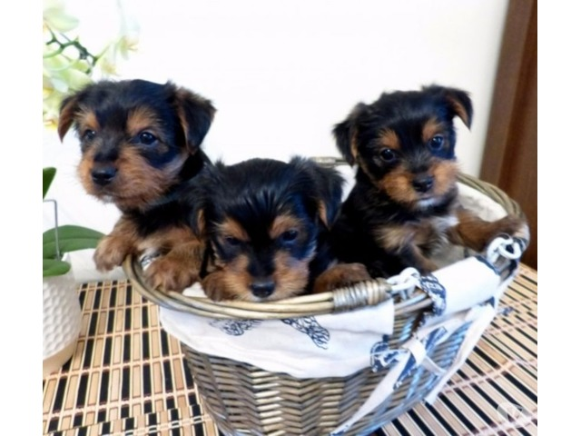 Akc Gorgeous Teacup Yorkie Puppies Available Animals Chicago