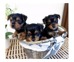 AKC Gorgeous Teacup Yorkie Puppies Available