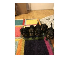 4   Top purebred Teacup Yorkie Puppies