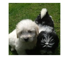 Male and female Coton De Tulear puppies for pet lovers
