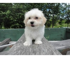 Quality Bred Family Rasied Coton De Tulear Pup