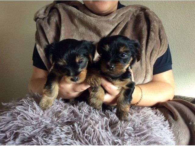 purebred Teacup Yorkie Puppies Available | free-classifieds-usa.com