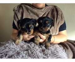 purebred Teacup Yorkie Puppies Available