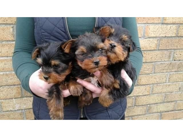 yorkie puppies for sale indianapolis potty trained teacup yorkshire terrier puppies animals 2836
