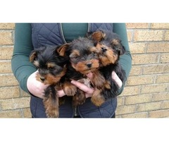 Potty Trained Teacup Yorkshire Terrier Puppies